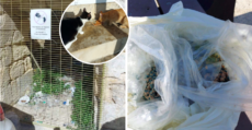 Missing Kitten Leads To Discovery Of Poison Mixed With Fresh Tuna At Valletta Waterfront Cat Colony